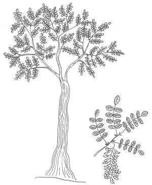 acacia e foglie