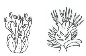 fiori castagno