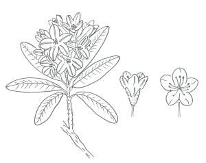 Rododendro_disegno_piccolo