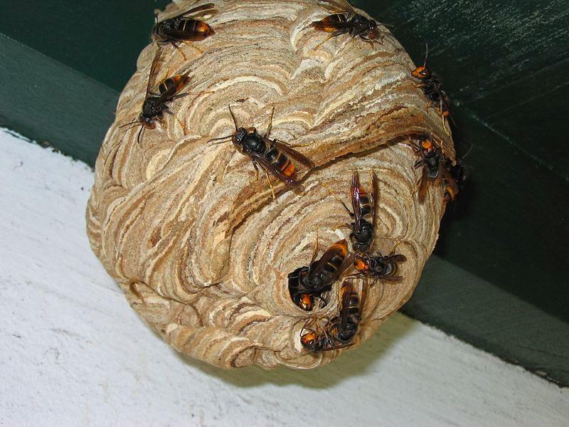 Vespa Velutina, apicoltura in pericolo! (5/6)