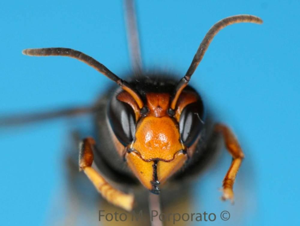 Vespa Velutina, apicoltura in pericolo! (2/6)