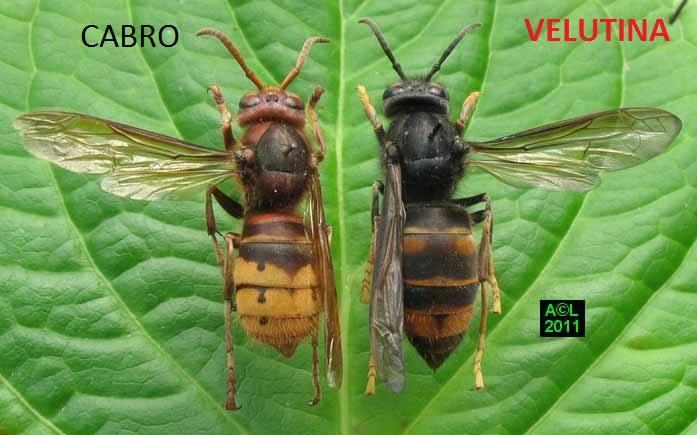 Vespa Velutina, apicoltura in pericolo! (1/6)