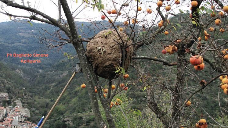 Vespa Velutina, apicoltura in pericolo! (6/6)